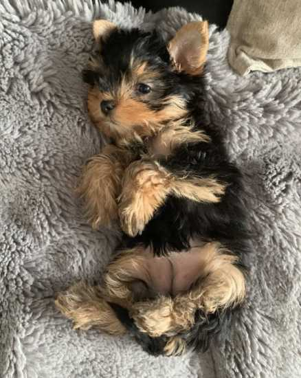 Amazing Yorkshire Terrier Puppies For Sale.
