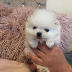 Male and Female AKC Pomeranian puppy available